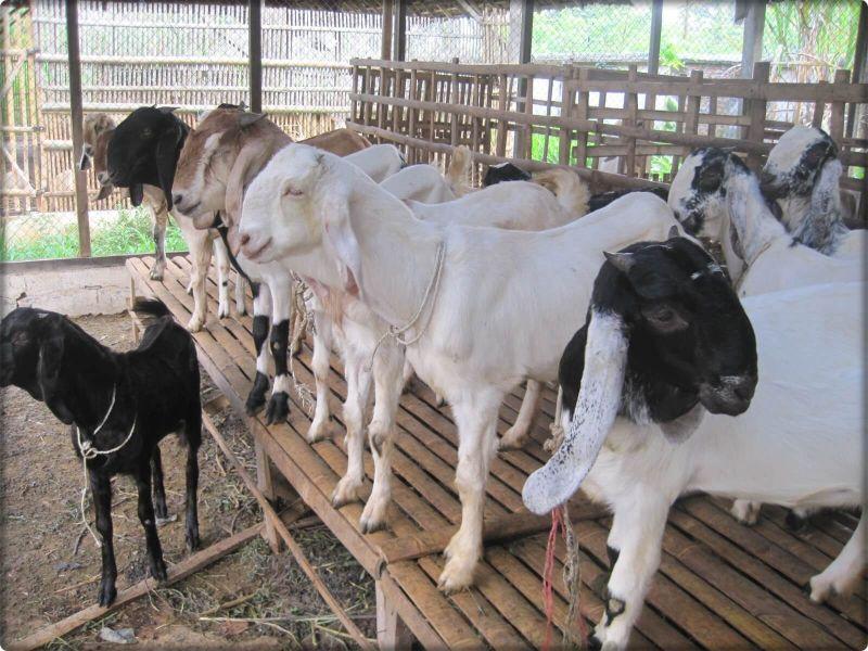 cara-ternak-kambing-peranakan-etawa