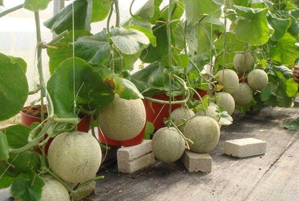 cara menanam melon di polybag