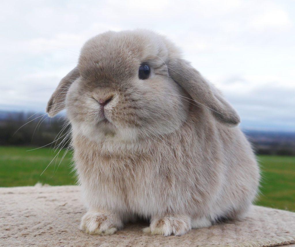 cara-merawat-kelinci-holland-lop