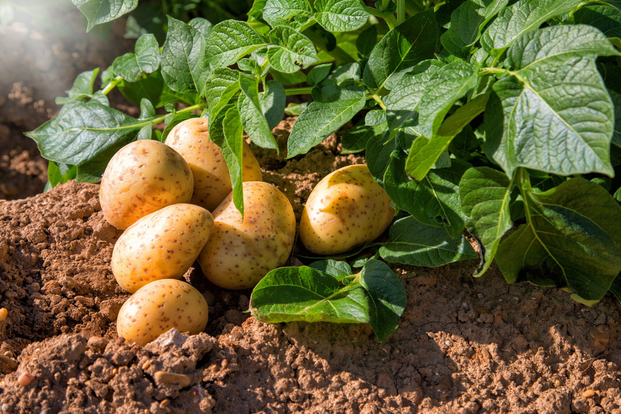 cara menanam kentang