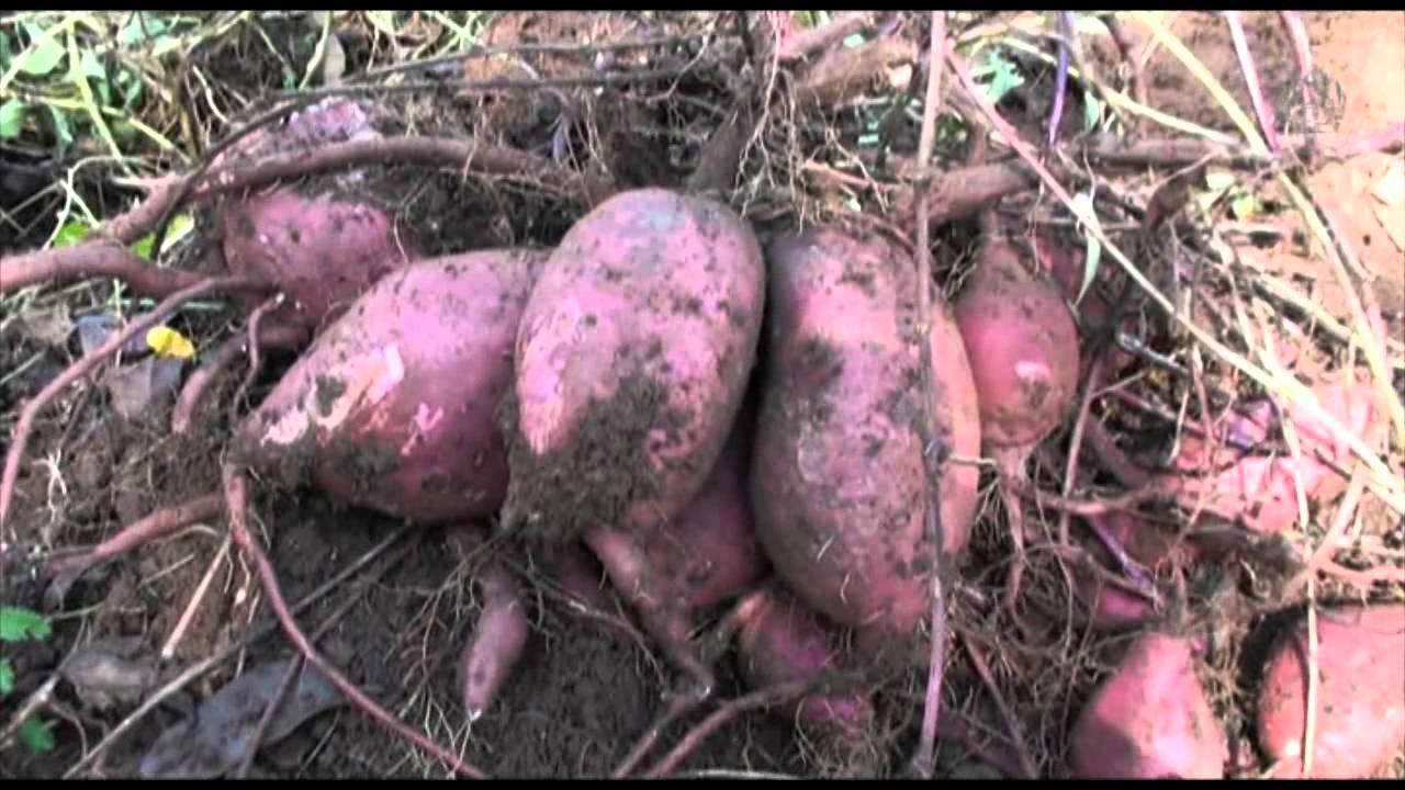 langkah budidaya ubi ungu