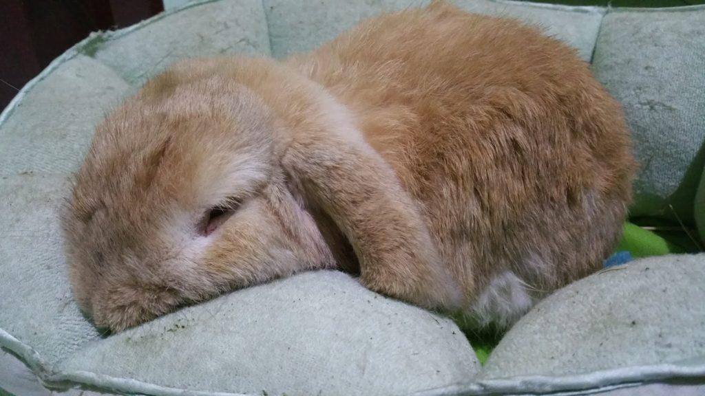 cara-merawat-kelinci-holland lop