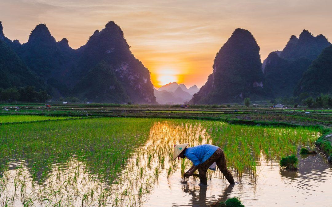 cara-menanam-padi