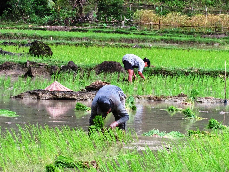 cara menanam padi yang baik