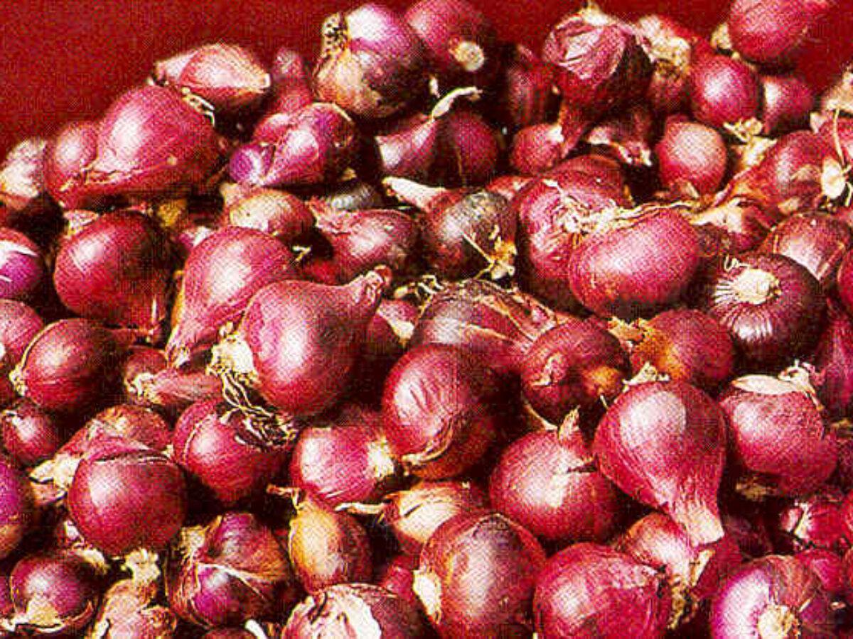 cara menanam bawang merah dari biji