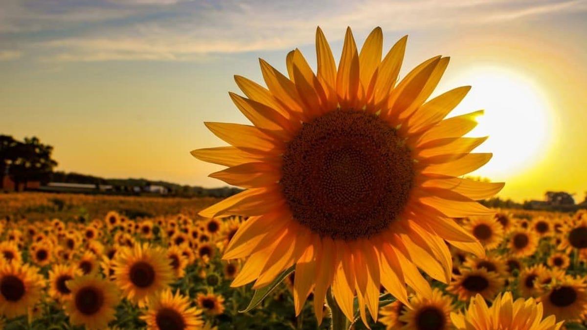 menanam bunga matahari sendiri