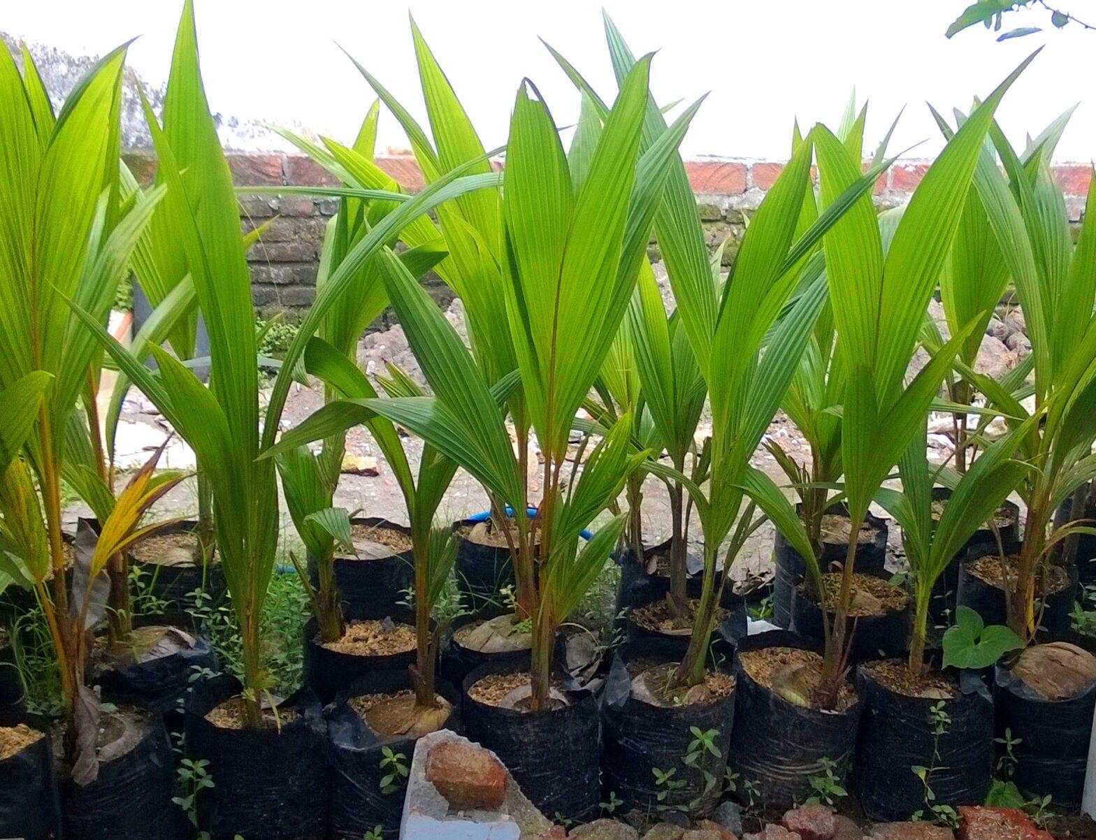 cara tanam kelapa agar cepat berbuah