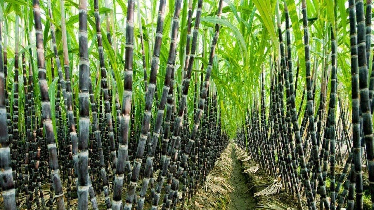 cara menanam budidaya tebu